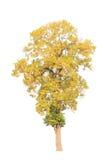 Shorea roxburghii, blossoming tropical tree Royalty Free Stock Image