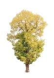 Shorea roxburghii, blossoming tropical tree Stock Image