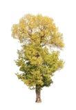 Shorea roxburghii, blossoming tropical tree Stock Photo
