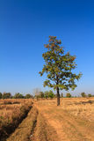Shorea siamensis in parched rice field Royalty Free Stock Images