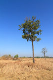 Shorea siamensis in parched rice field Royalty Free Stock Photo