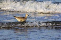 Shorebird в прибое стоковые изображения rf