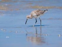 Shorebird в приливе пляжа Стоковое Фото