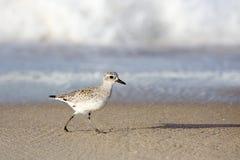 Shorebird идя на край вод на пляже Стоковые Изображения RF