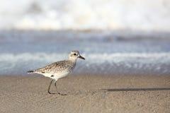 Shorebird идя на край вод на пляже Стоковая Фотография