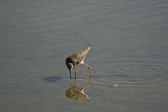 Shorebird Stock Image