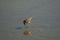 Shorebird stockbild