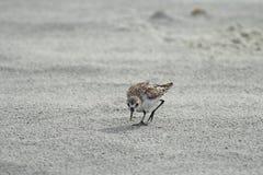 shorebird lizenzfreie stockbilder