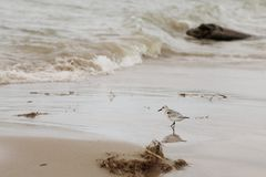 Shorebird on the beach. Small shorebird called a sanderling photographed on the shore of Lake Huron in mid summer. On a wavy day after a storm, the bird is stock image