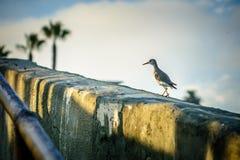 Shorebird bierze spacer Obrazy Stock