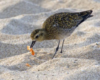 Shorebird breakfast Royalty Free Stock Photos