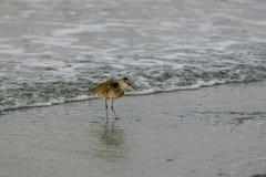 Shorebird de Willet na borda da onda foto de stock