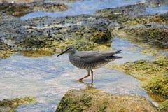 Shorebird in den Felsenpools stockbilder