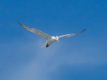 Shorebird In Flight. A Least Tern shorebird in flight against a blue sky Royalty Free Stock Photos