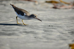 Shorebird Hunting Royalty Free Stock Image