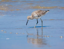Shorebird i strandtidvattnet Arkivfoto