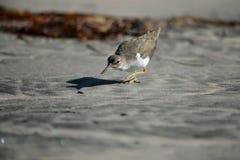 Shorebird-Jagd stockbilder