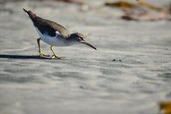 Shorebird-Jagd lizenzfreies stockbild