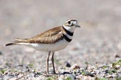 Shorebird Killdeer стоковые изображения rf