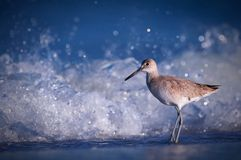 Shorebird by ocean. Close up of shorebird with breaking waves in background Royalty Free Stock Image