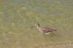 Shorebird que toma o mergulho no oceano foto de stock royalty free