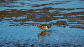 Shorebird Red Knot or Calidris canutus walking at sea shoreline close-up portrait, selective focus, shallow DOF.  royalty free stock photos