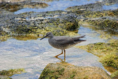 Shorebird in rock pools Stock Images