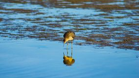 Shorebird Ruff or Philomachus pugnax at sea shoreline close-up portrait, selective focus, shallow DOF.  stock photos