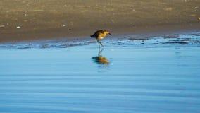 Shorebird Ruff or Philomachus pugnax at sea shoreline close-up portrait, selective focus, shallow DOF.  stock images