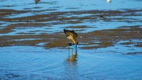 Shorebird Ruff or Philomachus pugnax at sea shoreline close-up portrait, selective focus, shallow DOF.  stock photo