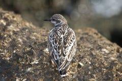 Shorebird Standing Stock Images