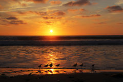 Shorebird Sunset. Shorebirds line the edge of the waves and watch the California Pacific sunset Stock Photography