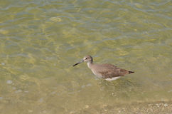 Shorebird Taking the Plunge in the Ocean Royalty Free Stock Photo