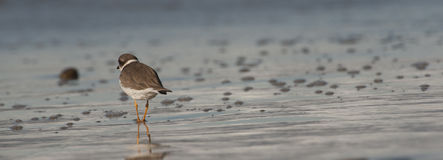 Shorebird van Californië tijdens eb Royalty-vrije Stock Afbeelding