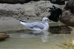 Shorebird Wading Stock Photography