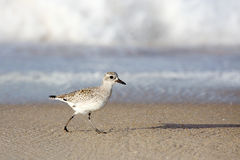 Shorebird walking at waters edge on beach Royalty Free Stock Images