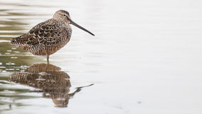 Shorebird with white space. This long billed dowitcher stands calmly in the still waters of a pond. Reflection. Patterns of plumage Stock Photo