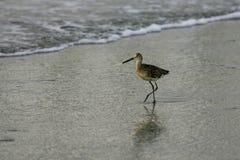 Shorebird Willet на крае воды стоковая фотография rf