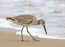 Shorebird willet walking in the surf Royalty Free Stock Photos