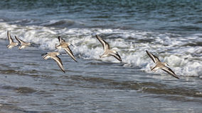 Shorebirds πέταγμα στοκ φωτογραφίες με δικαίωμα ελεύθερης χρήσης