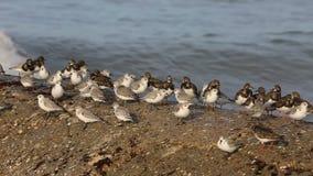Shorebirds на береге в Бретань - быстром ходе сток-видео