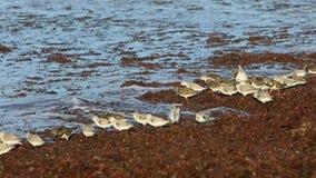 Shorebirds на береге в Бретань видеоматериал