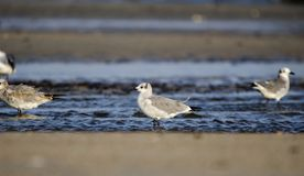Shorebirds смеясь над чайки на пляже, Hilton Head Island Стоковое Изображение
