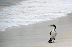 Shorebirds Fotografia de Stock Royalty Free