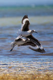Shorebirds Royalty Free Stock Photos