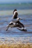 Shorebirds Fotografie Stock Libere da Diritti