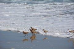 shorebirds Zdjęcia Stock