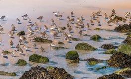 Shorebirds andati selvaggi immagine stock