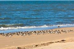 Shorebirds on a beach. Sandpiper flock at a winter French seashore. Horizontal shot Royalty Free Stock Photos