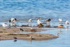 Shorebirds on a beach. Shorebirds on a sandy beach by the sea Stock Images